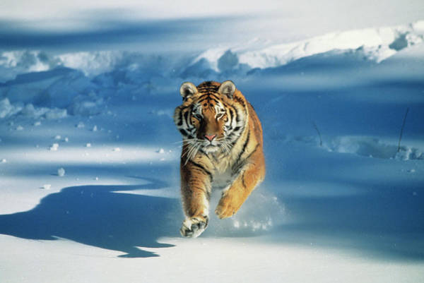 Big Cat Wall Art - Photograph - Siberian Tiger Panthera Tigris Altaica by Tom Brakefield