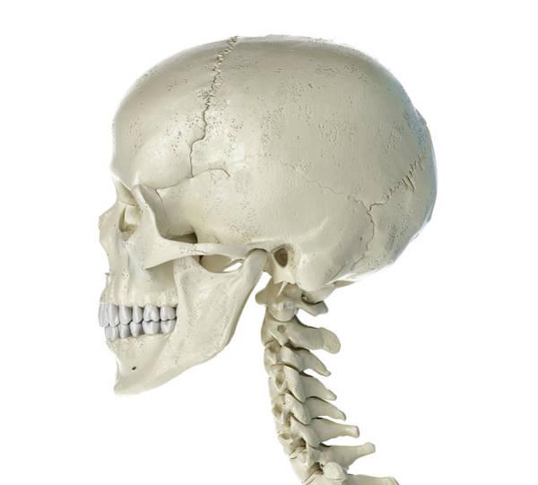 Photograph - Side Profile Of The Human Skull by Leonello Calvetti