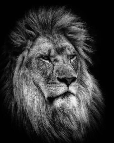 Photograph - Silver Lion by Chris Boulton