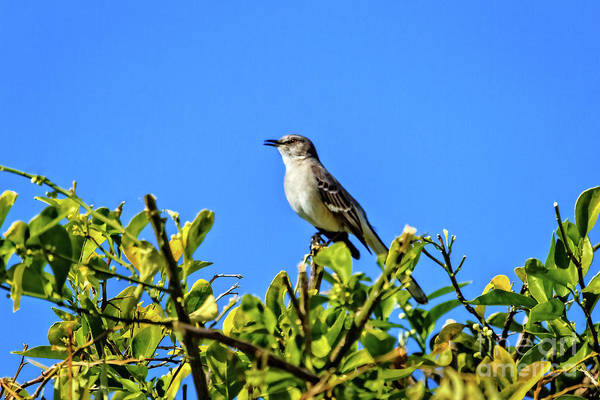 Wall Art - Photograph - Singing Mockingbird by Robert Bales