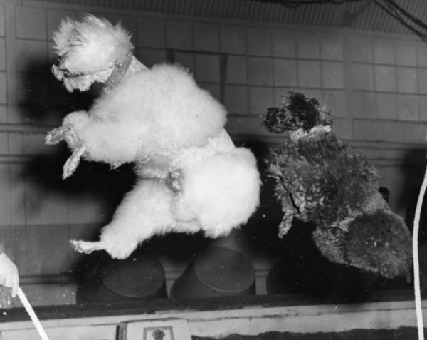 Poodle Photograph - Skipping Poodles by Ron Case