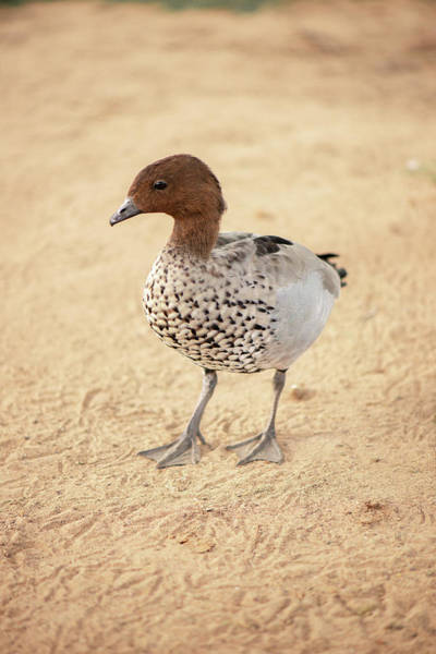 Photograph - Small Duck On The Farm by Rob D Imagery