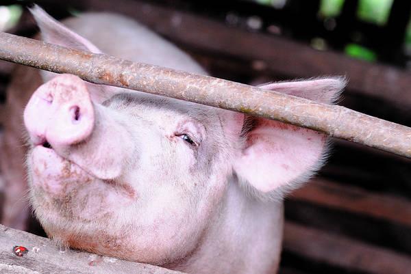 Pigpens Photograph - Small Pig Farm by Buntoon Rodseng