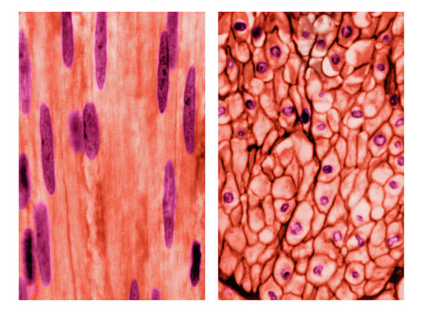 Wall Art - Photograph - Smooth Muscle Tissue, Longitudinal by Don Fawcett