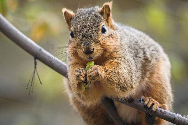 Photograph - Snacking Squirrel by Don Northup
