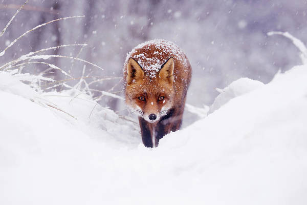 Flake Photograph - Snow Fox Series - The Fox On The Hill by Roeselien Raimond