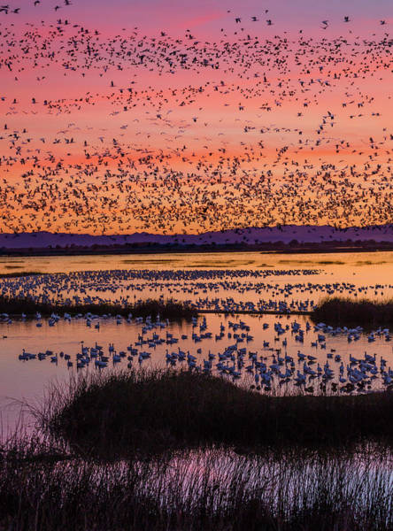 National Wildlife Refuge Photograph - Snow Geese Chen Caerulescens At Sunset by David Madison