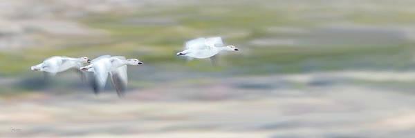 Photograph - Snow Geese Flight by Judi Dressler