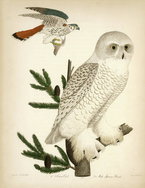 1. Snow Owl. 2. Male Sparrow-hawk. Art Print