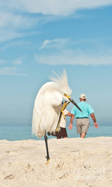 Snowy Egret Standing On Sandy Beach On Art Print
