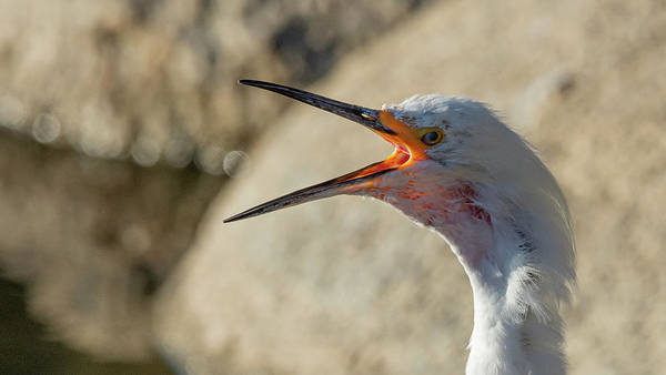 Photograph - Snowy White Egret 5 by Rick Mosher