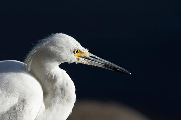 Photograph - Snowy White Egret 7 by Rick Mosher