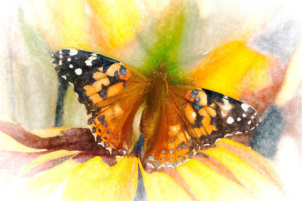 Photograph - Soft Painted Lady Butterfly Chalk by Don Northup