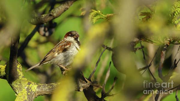 Photograph - Spanish Sparrow Percehd On A Tree by Pablo Avanzini