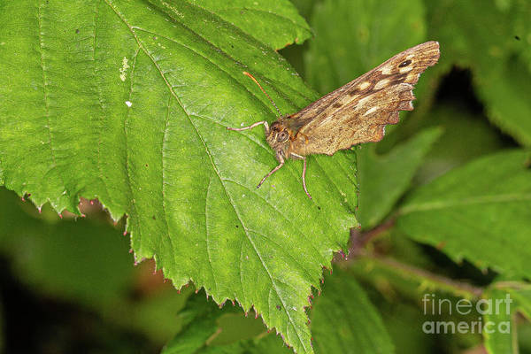 Photograph - Speckled Wood by Brian Roscorla