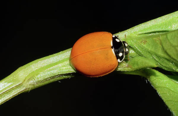 Photograph - Spotless Lady Beetle by Larah McElroy