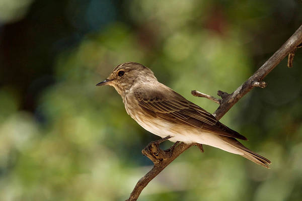 Wall Art - Photograph - Spotted Flycatcher by David Hosking