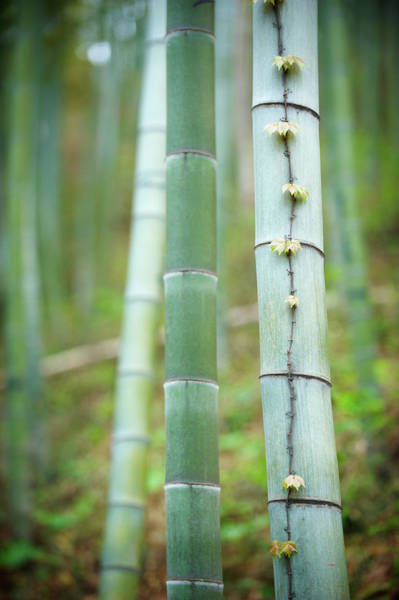 Wild Grape Photograph - Spring In Bamboo Forest by Sandsun