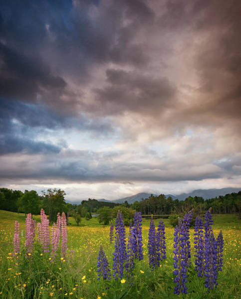 Photograph - Springtime And Lupines by Darylann Leonard Photography
