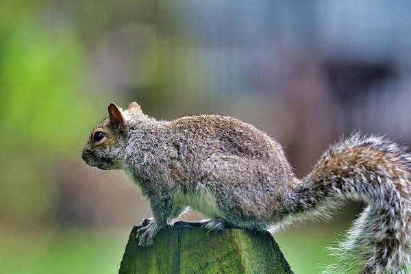 Wall Art - Photograph - Squirrel by Jeffry Warrington