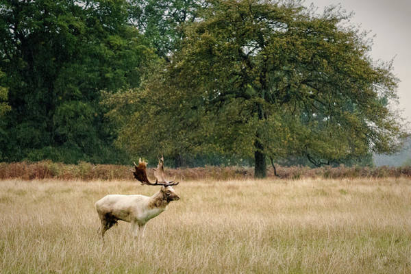 Photograph - Stag by Chris Boulton