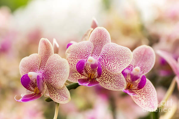 Tropical Plants Photograph - Streaked Orchid Flowers. Beautiful by Pojvistaimage