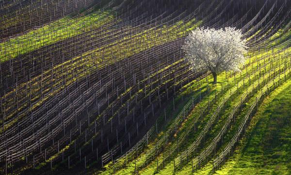 Photograph - Strings Of Spring by Vlad Sokolovsky