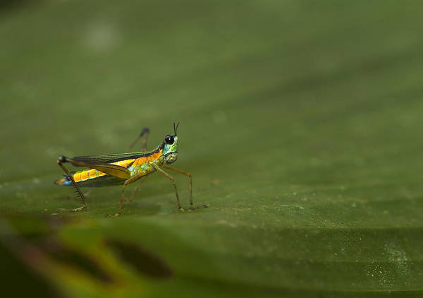 Photograph - Striped Airplane Grasshopper by Michael Lustbader