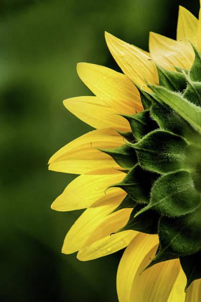 Photograph - Sunflower Back by Don Johnson