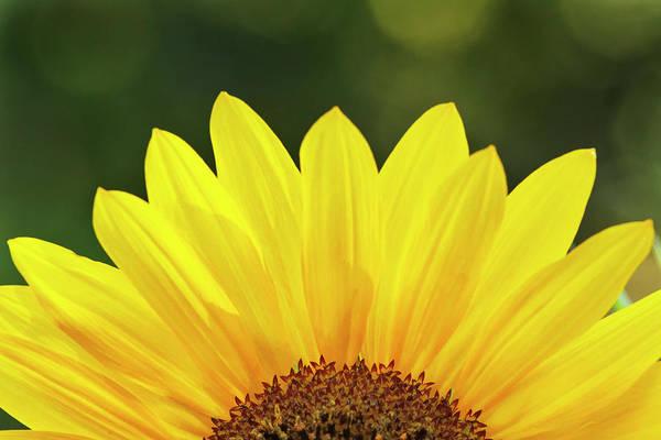 Asteraceae Photograph - Sunflower Close-up, California by Adam Jones