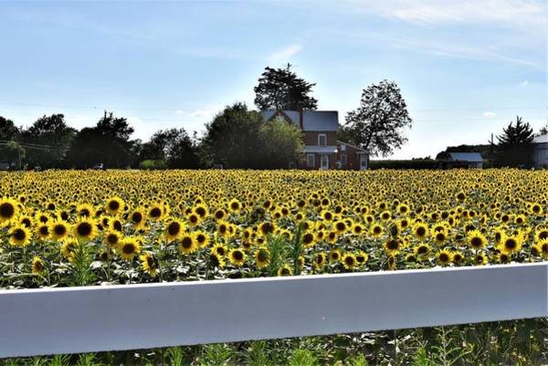 Photograph - Sunflower Farm by Kim Bemis