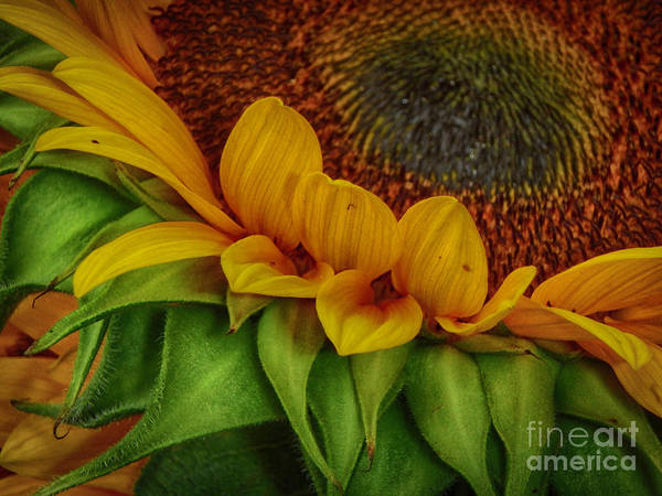 Photograph - Sunflower by Judy Hall-Folde