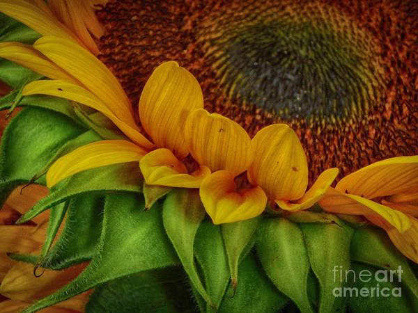 Photograph - Sunflower by Judy Hall-Folde