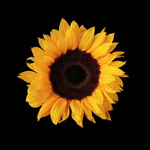 Sparse Photograph - Sunflower On Black Background by William Turner