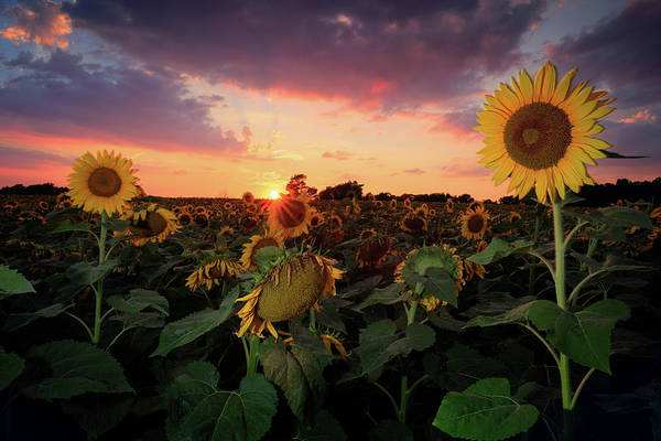 Wall Art - Photograph - Sunflower Sunset  by Emmanuel Panagiotakis