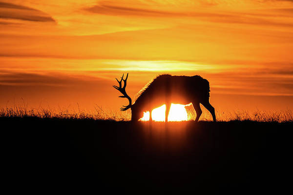 Sunrise Elk Art Print
