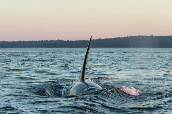 Wall Art - Photograph - Surfacing Male Resident Orca Whale by Stuart Westmorland