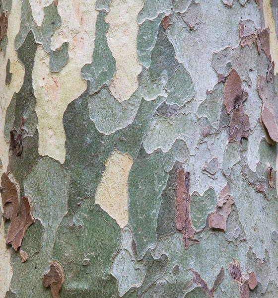 Wall Art - Photograph - Sycamore Tree Bark Design Oak Creek by Darrell Gulin