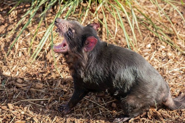 Photograph - Tasmanian Devil Outside During The Day In Tasmania. by Rob D Imagery