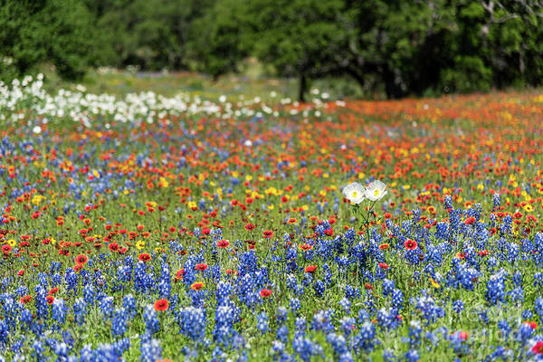 Photograph - Texas Wildflowers by Paul Quinn