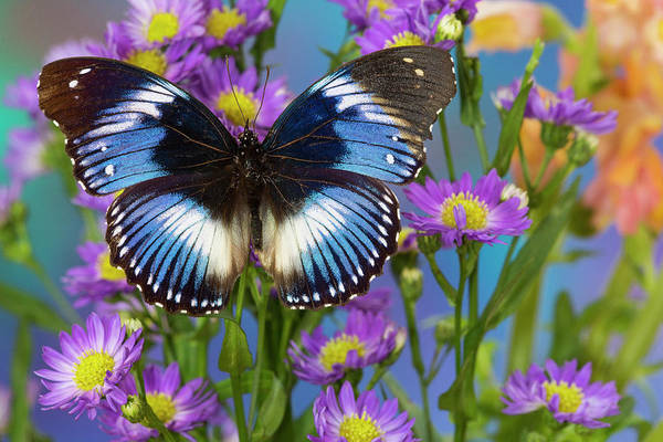 Wall Art - Photograph - The Blue Diadem Butterfly, Hypolimnas by Darrell Gulin