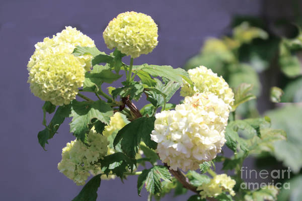 Wall Art - Photograph - The Hydrangea #2 by Diann Fisher