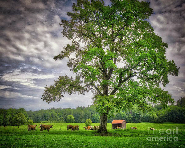 Photograph - The Old Oak by Edmund Nagele