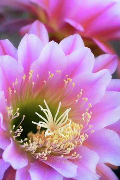 Photograph - The Softer Side Of Cacti  by Saija Lehtonen