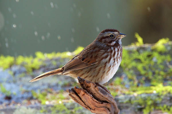 Wall Art - Photograph - The Song Sparrow Is A Medium-sized by Richard Wright