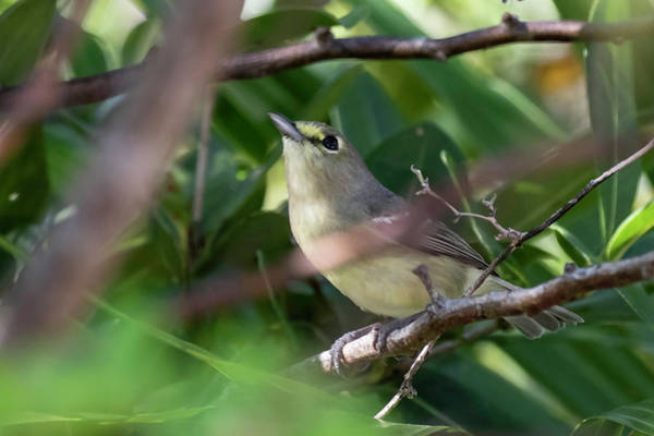 Photograph - Thick-billed Vireo by Thomas Kallmeyer