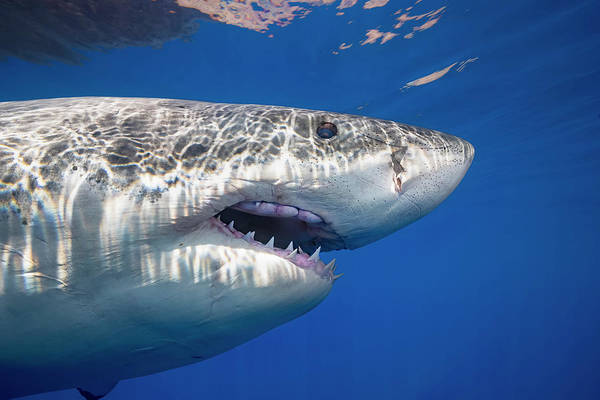 Wall Art - Photograph - This Great White Shark  Carcharodon by Dave Fleetham