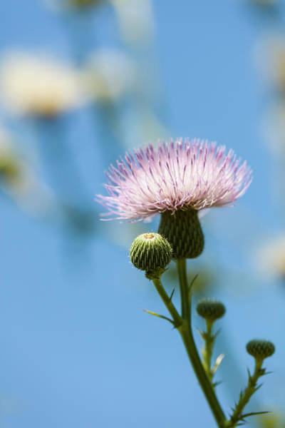 Wall Art - Photograph - Thistle With Blue Sky Background by Panoramic Images