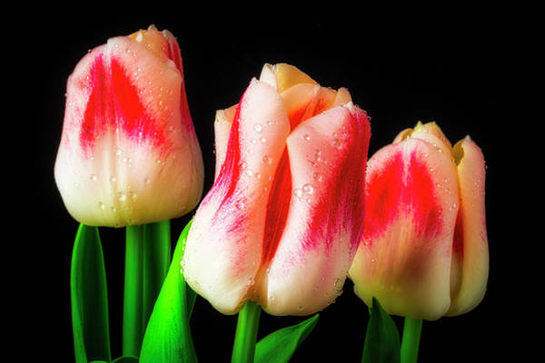 Wall Art - Photograph - Three Dew Covered Tulips by Garry Gay