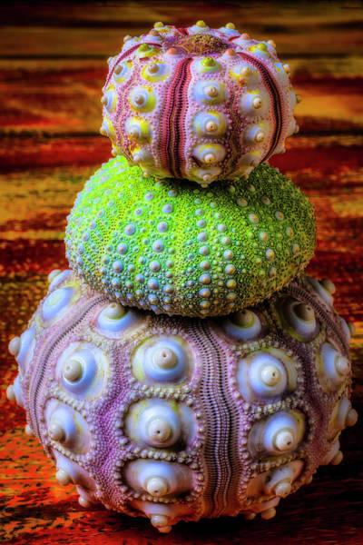 Wall Art - Photograph - Three Sea Urchins by Garry Gay
